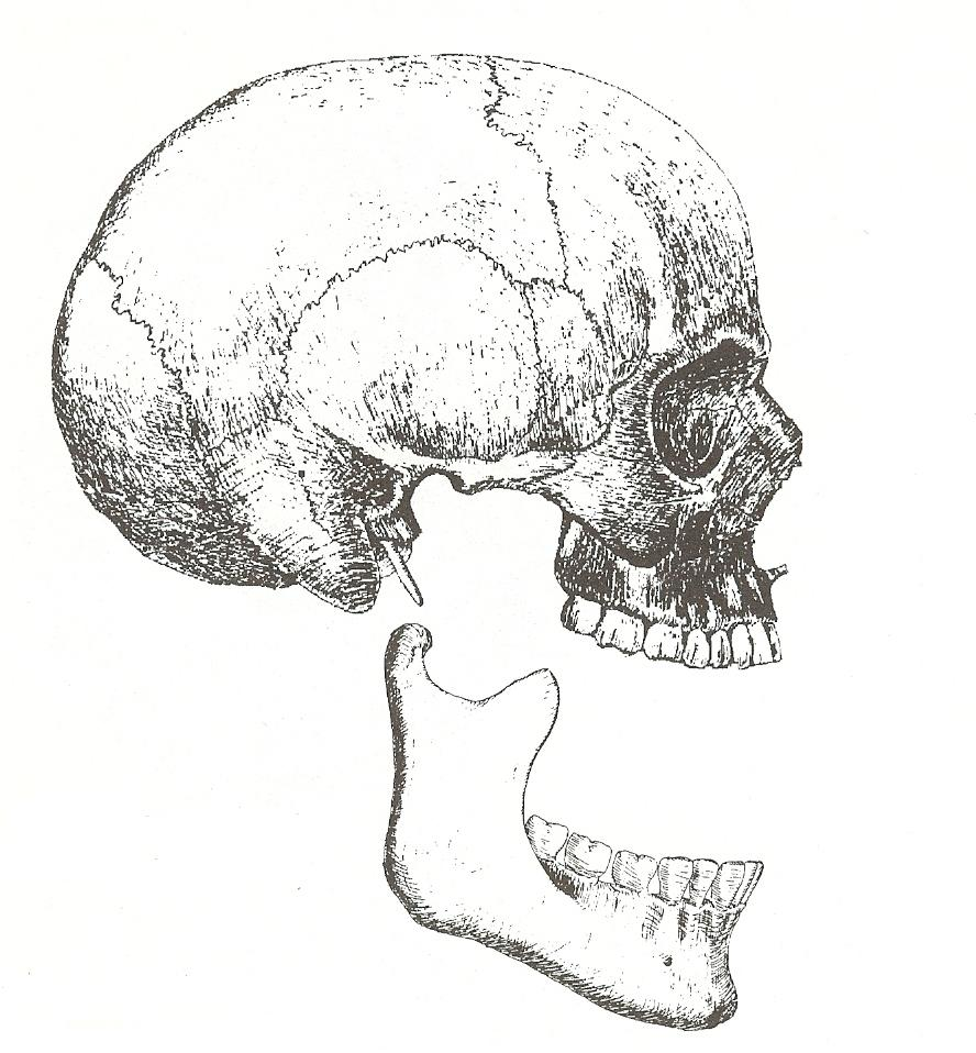 illustration of two parts of the head--skull and lower jaw