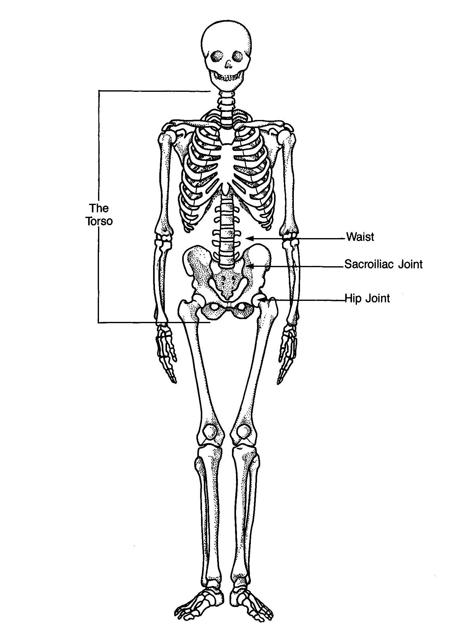 Skeleton as viewed from teh front showing the locatin of the waist vs the hip joints