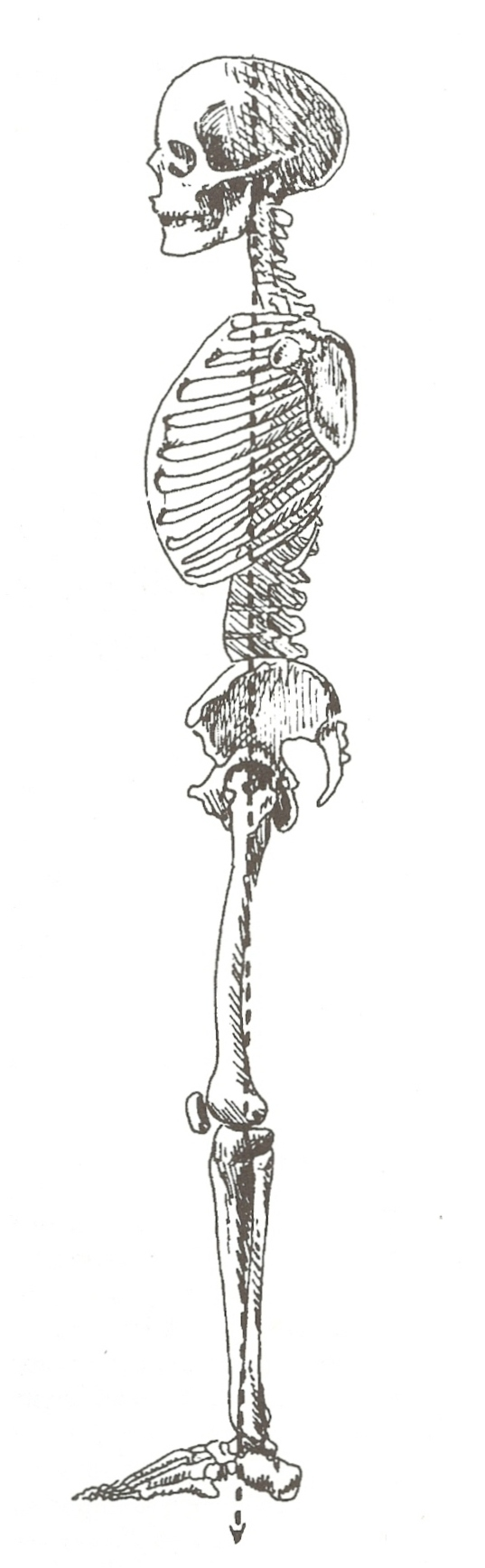 The skeleton is standing with the weight transferred down through the front part of the spine