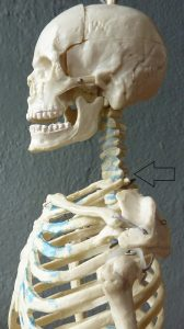 side view of skull indicating the base of the neck (C7)