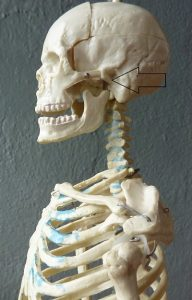 side view of skull indicating location of the atlanto occipital joint