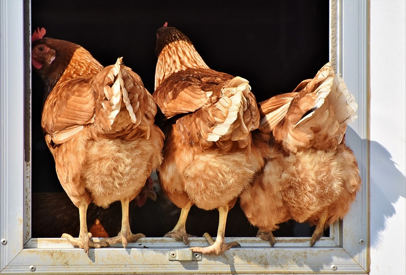 three chickens photographed from behind