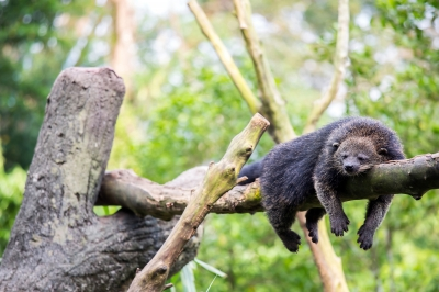 bearcat sleeping in tree
