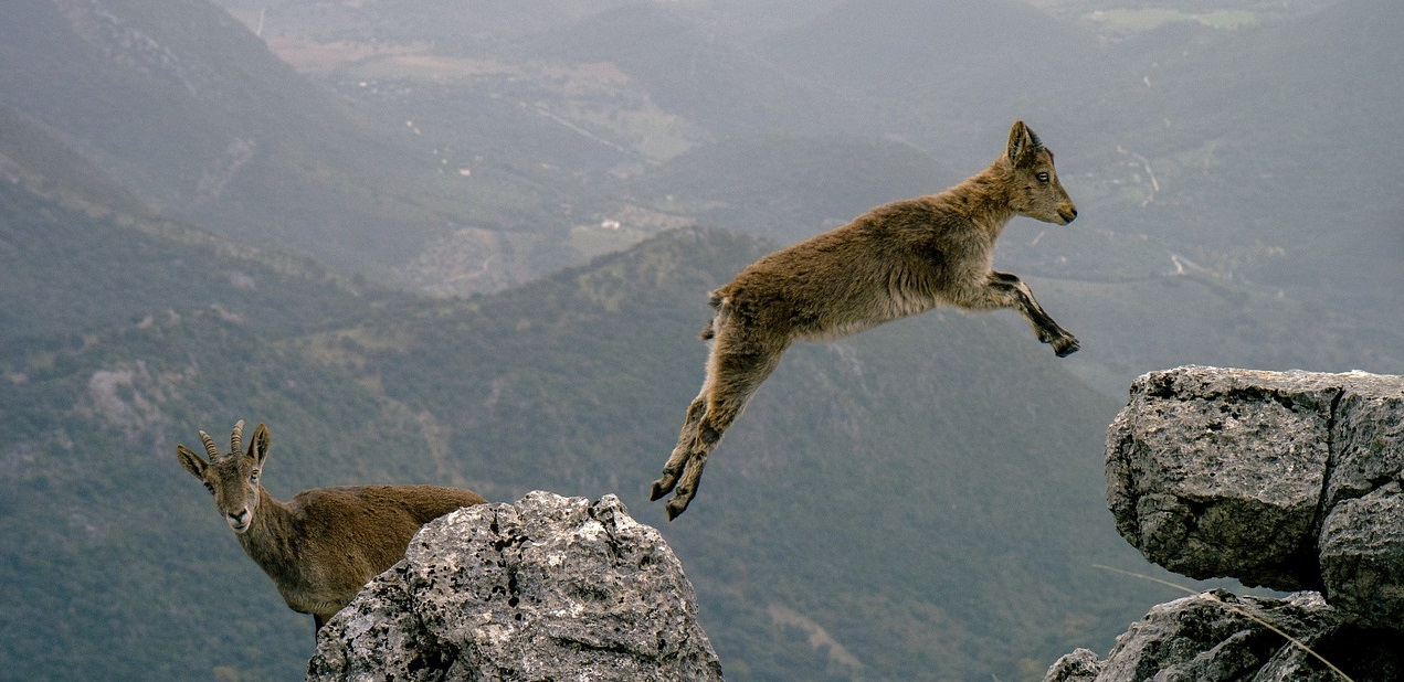 mountain goat leaping