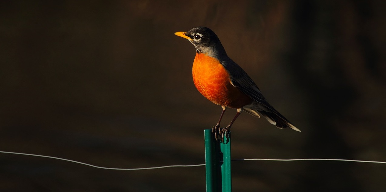 robin perching on a fence post