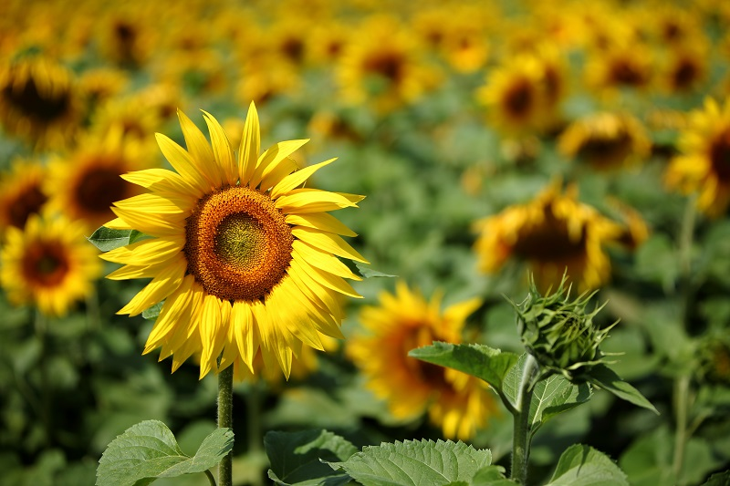field of sunflowers with one flower in focus
